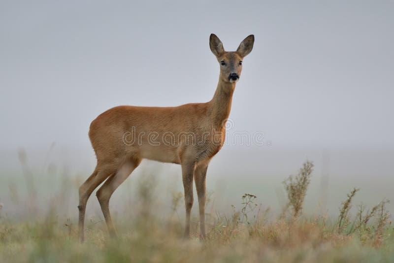 Roe deer in the wild stock photos