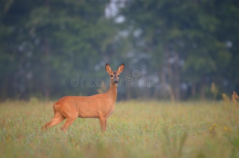 Roe deer in the wild royalty free stock photo
