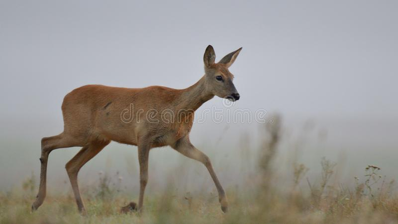 Roe deer in the wild royalty free stock images