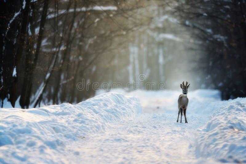 Download Roe deer in winter stock image. Image of cute, wild, deer - 26351775