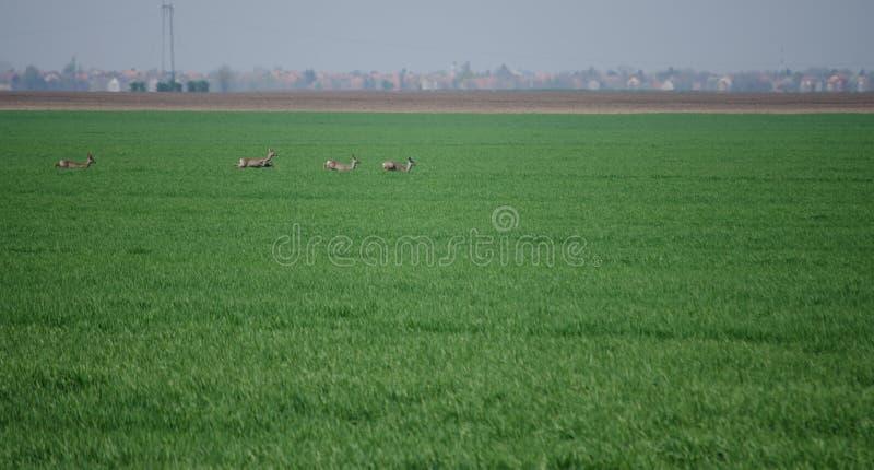 Roe Deers imagens de stock royalty free