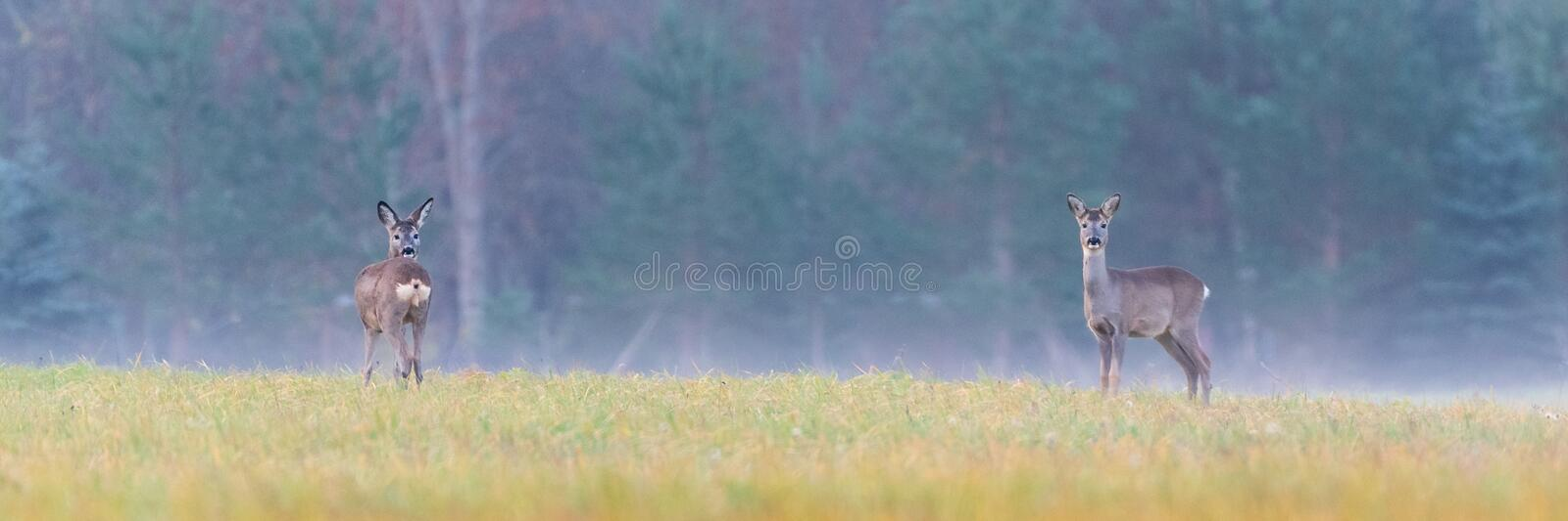 Roe deers on a field in a foggy morning. Two Roe deers standing on a field in a foggy morning royalty free stock image