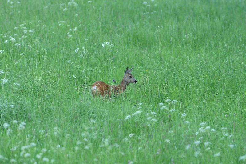 Roe grazes on green grass in a meadow in spring royalty free stock photos