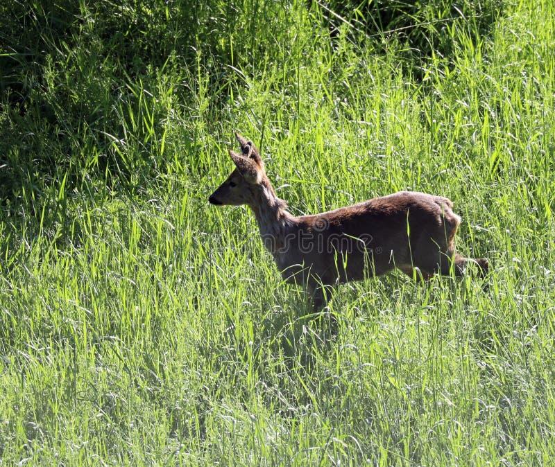 roe rogacz pasa w polanie po budzić się od hibernacji fotografia stock