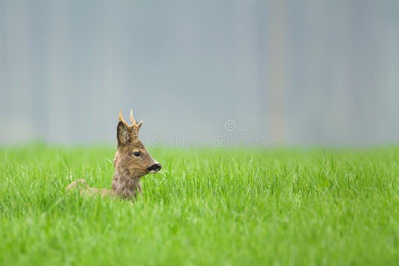 Roe rogacza samiec obsiadanie w długiej trawie fotografia royalty free