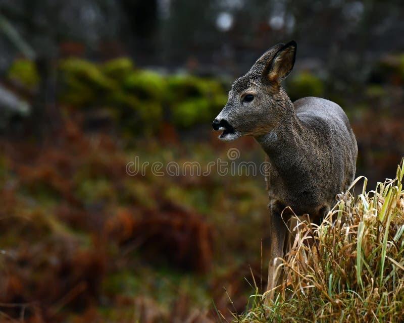 Roe rogacze wewnątrz w górę dalej lasu zdjęcia royalty free