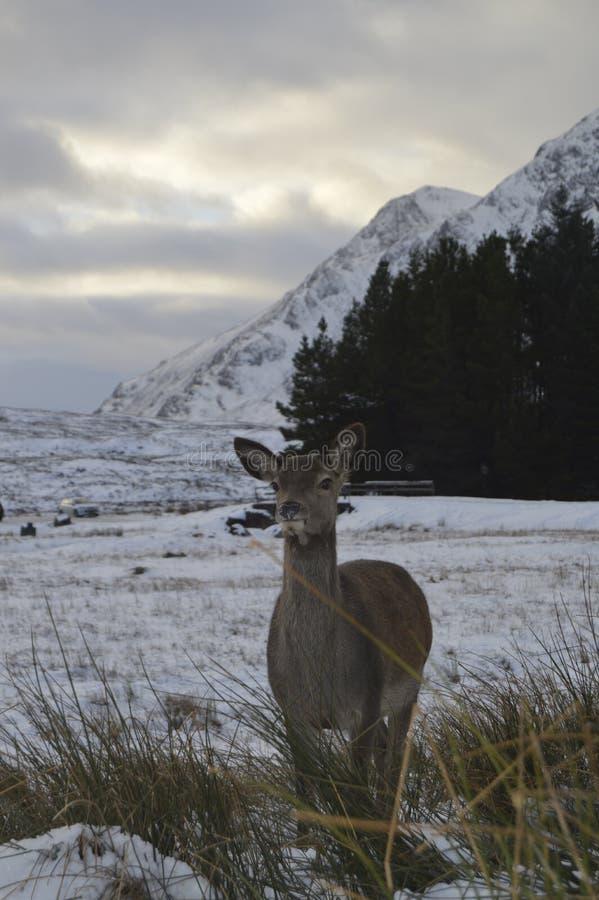 Roe w Szkocja średniogórzach fotografia stock