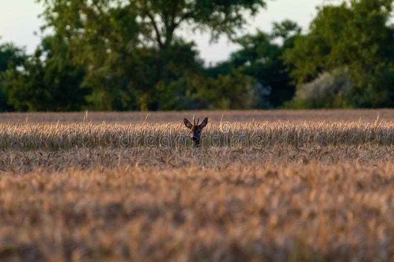 Roe in the wheat field Tamron 70 300 mm with Nikon D3100 dslr royalty free stock photos