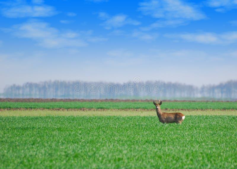 Roebuck, der auf dem grünen Gebiet steht lizenzfreie stockfotos