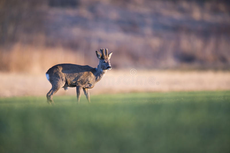 Roebuck in the evening royalty free stock photo