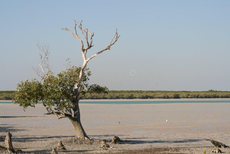 roebuck för marsh för Australien fjärdbroome royaltyfri fotografi