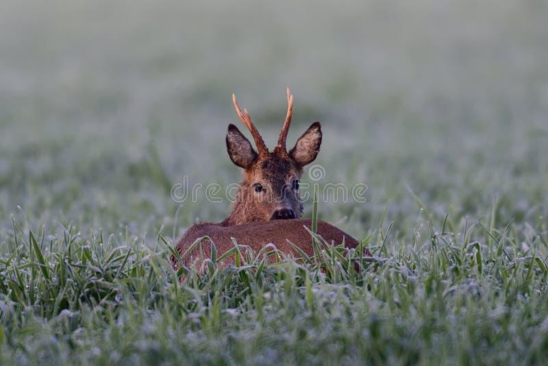 Roebuck in the field stock photos