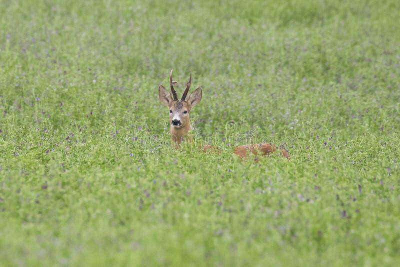 Roebuck in green meadow stock photography