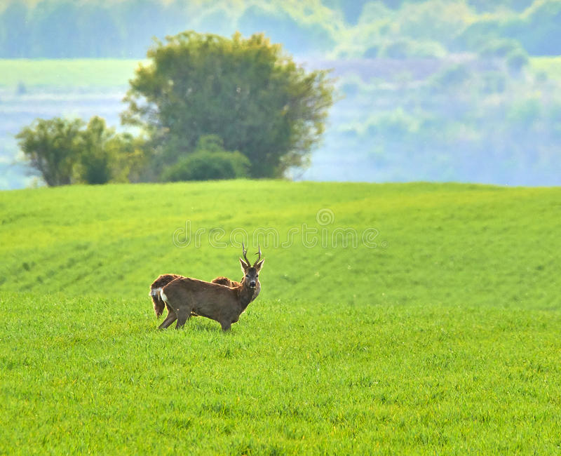 Roebuck and roe deers. Roebuck and deers on a wheat field stock images