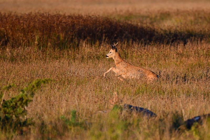 Roebuck is running over a meadow royalty free stock photos
