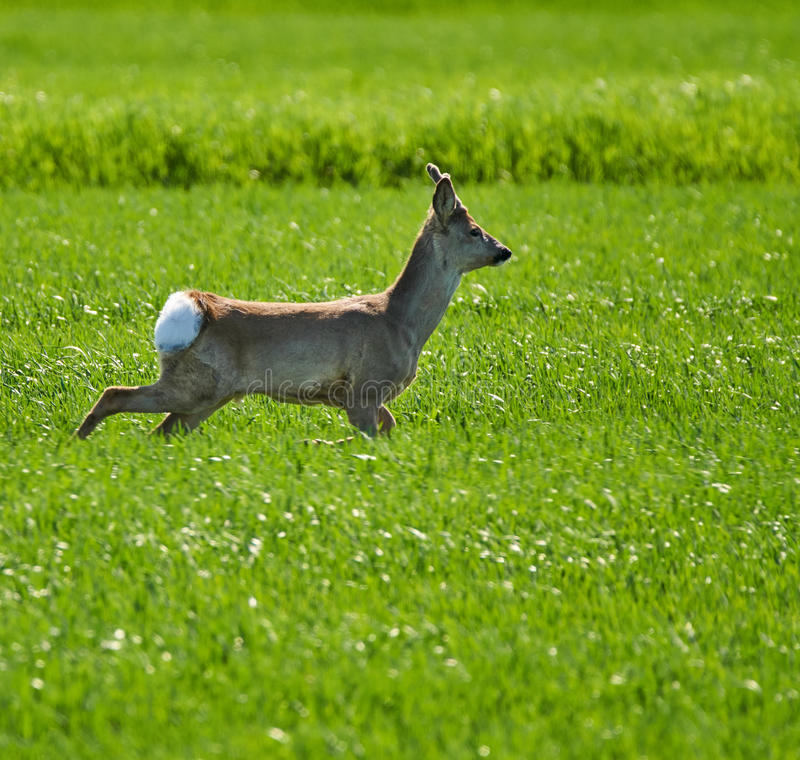Roebuck on a wheat field. Young roebuck capreolus capreolus on a wheat field royalty free stock images