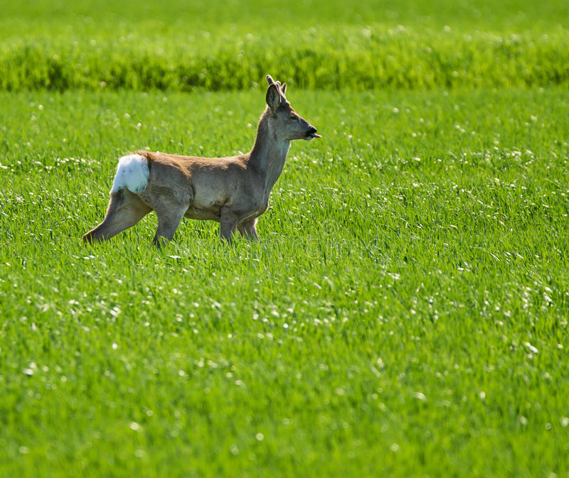 Roebuck on a wheat field. Young roebuck capreolus capreolus on a wheat field royalty free stock photography