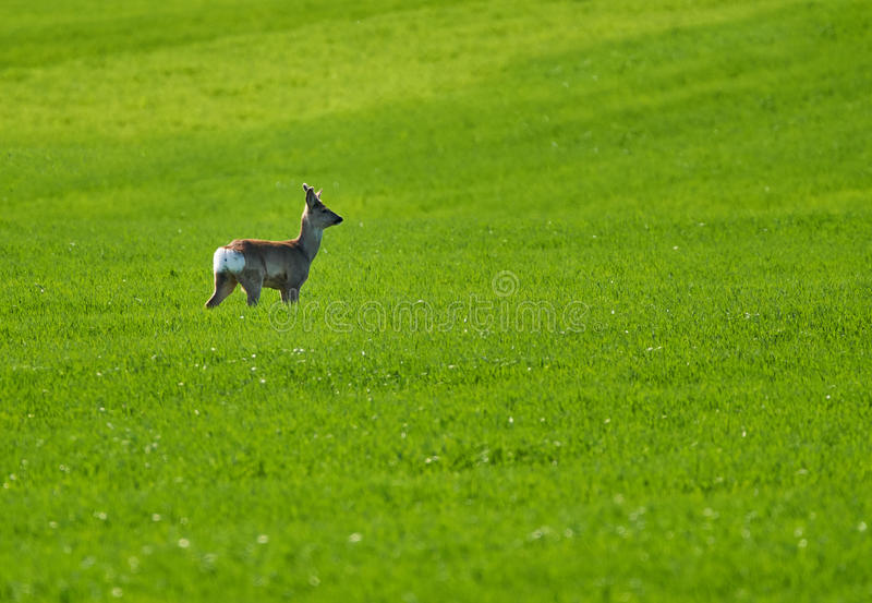 Roebuck on a wheat field. Young roebuck capreolus capreolus on a wheat field stock photo