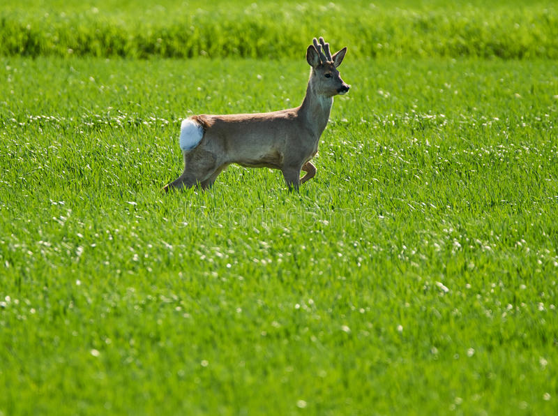 Roebuck on a wheat field. Young roebuck capreolus capreolus on a wheat field stock image