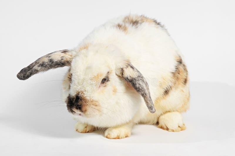 Roedor, animal del mamífero imagen de archivo libre de regalías
