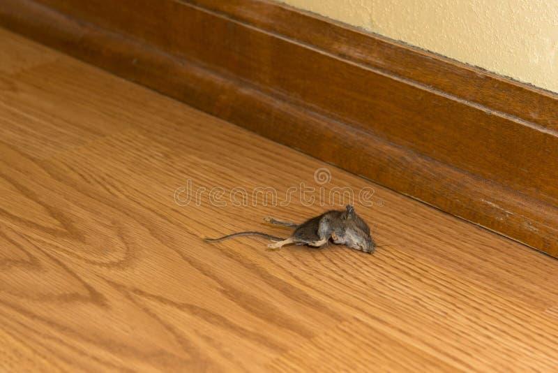 Roedor inoperante do rato na casa ou na casa, praga fotografia de stock