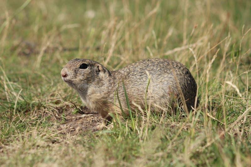 roedores foto de stock