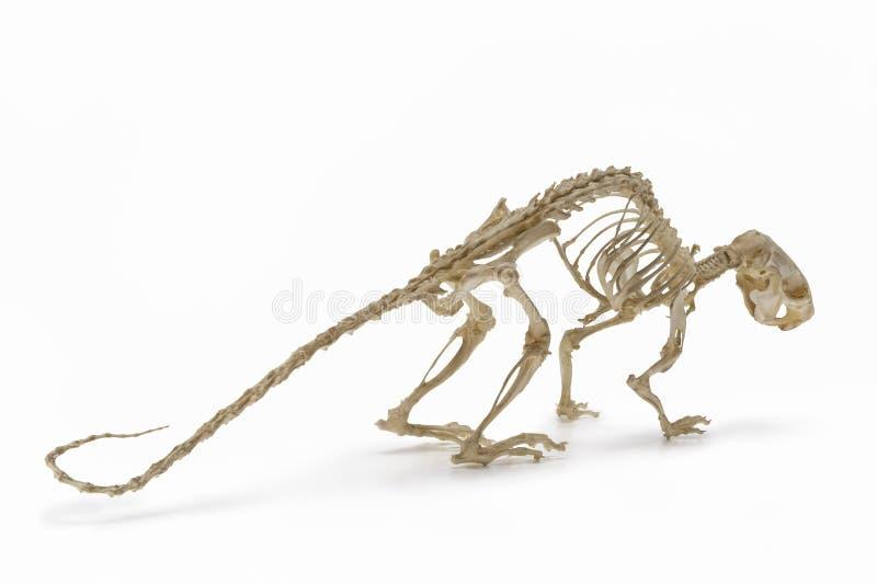 Roedores Esqueleto Del Ratón De La Rata Imagen De Archivo Imagen De Contorno Tiro 108448623