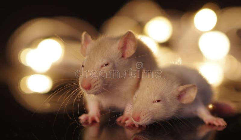 Roedores lindos del bebé en frente de luces de hadas con el fondo del bokeh imagenes de archivo