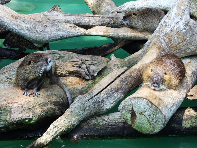 Roedores no jardim zoológico em Zagreb foto de stock