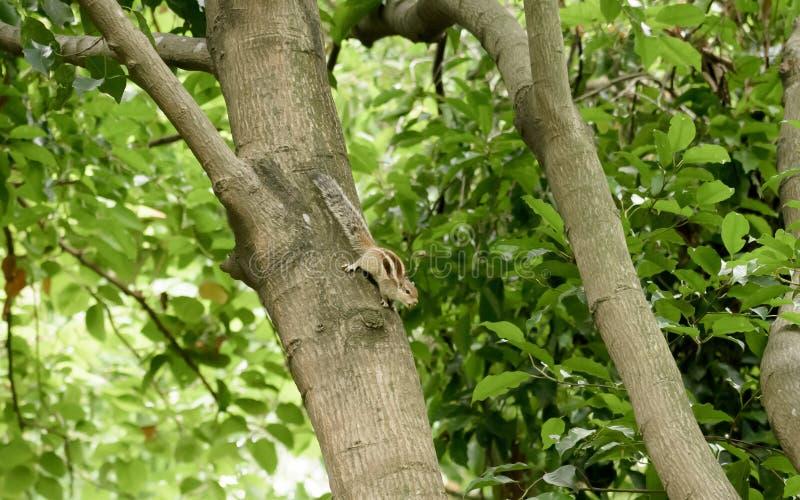 Roedores striped marmots esquilos esquilos Sciuridae arboreal espécie de esquilos voadores avistada em um tronco de árvore imagem de stock royalty free