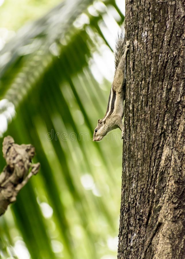 Roedores striped marmots esquilos esquilos Sciuridae arboreal espécie de esquilos voadores avistada em um tronco de árvore imagem de stock