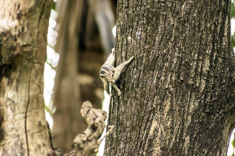 Roedores striped marmots esquilos esquilos Sciuridae arboreal espécie de esquilos voadores avistada em um tronco de árvore fotos de stock royalty free