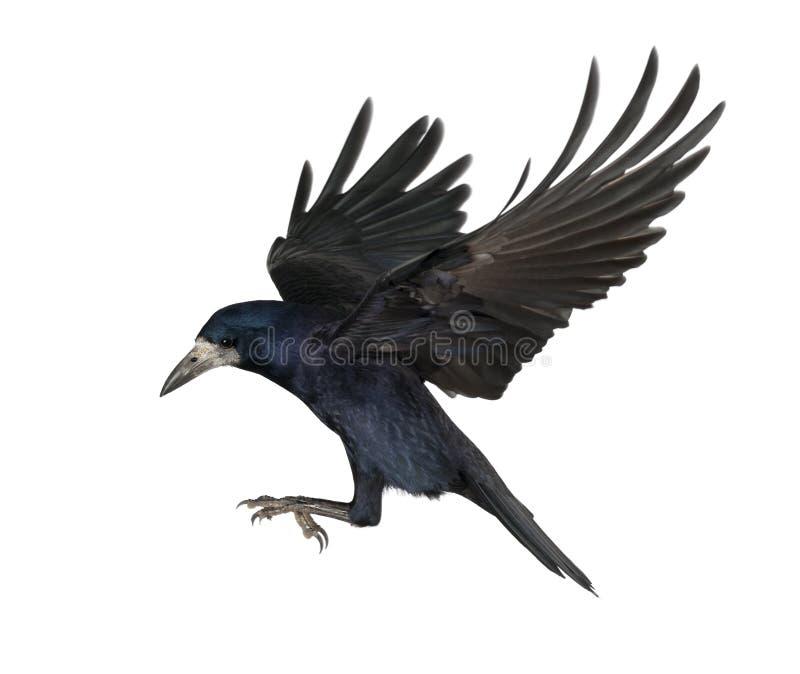 Roek, Corvus frugilegus, 3 jaar oud royalty-vrije stock afbeelding