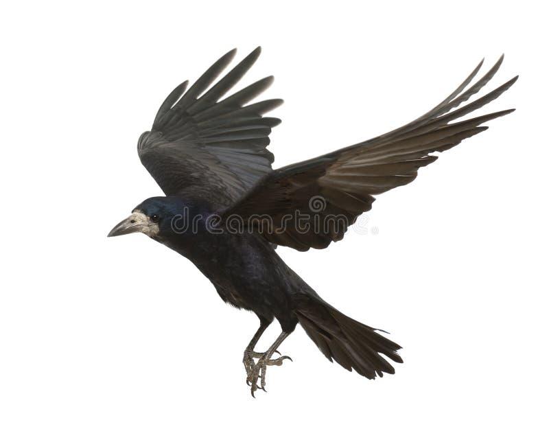 Roek, Corvus frugilegus, 3 jaar oud, het vliegen stock fotografie
