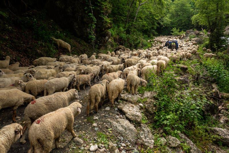 Roemeense troeptranshumance herder in de bergen stock foto