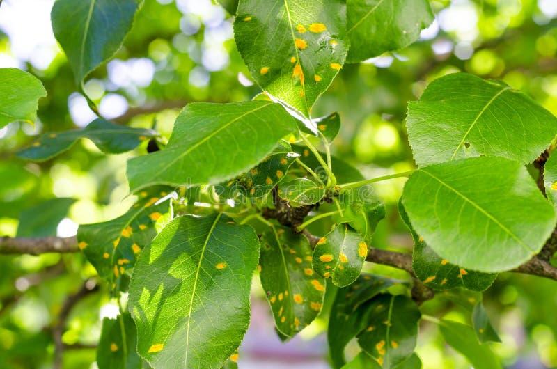 Roest op perenbladeren, fruitplantenziekte stock afbeelding