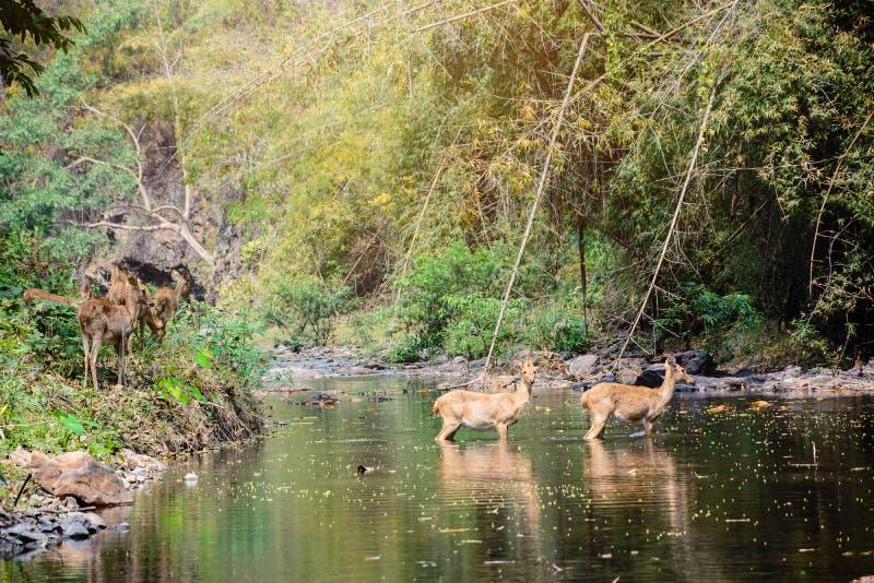 Rogacz i łanie chodzi przez wody las obrazy stock