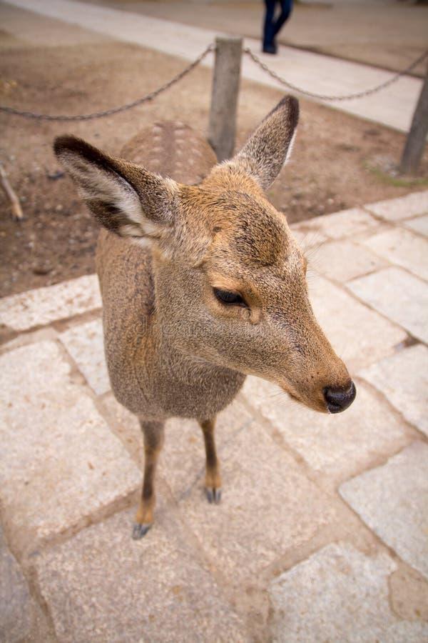 Rogacz wędruje swobodnie w Nara parku zdjęcie stock