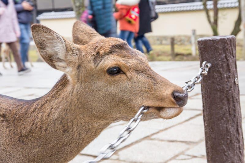 Rogacz wędruje swobodnie w Nara parku obraz stock