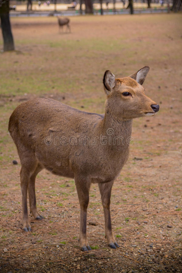 Rogacz wędruje swobodnie w Nara parku zdjęcia stock
