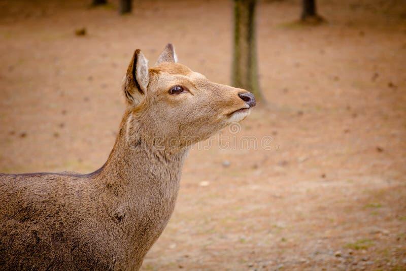 Rogacz wędruje swobodnie w Nara parku obrazy royalty free