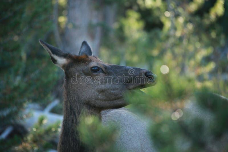 Rogacz w lesie zdjęcia royalty free