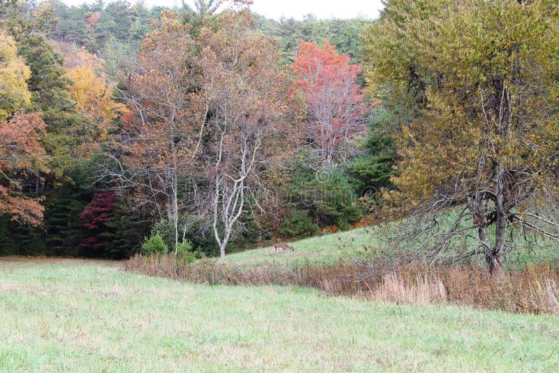 Rogacz w polu drzewa z spadki Barwiącymi liśćmi obrazy stock