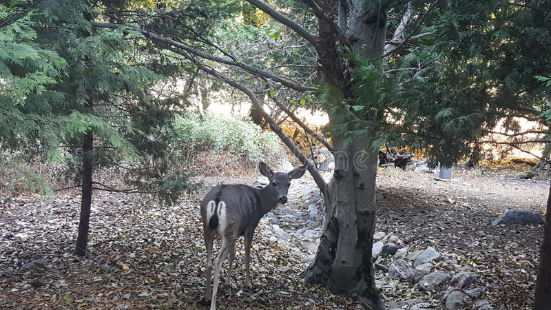 Rogacz w Yosemite obrazy royalty free