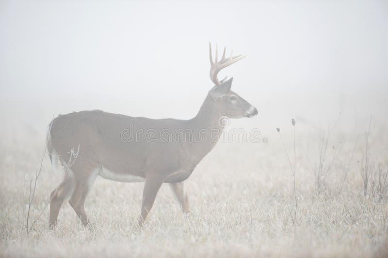rogacze fog ciężkiego whitetail zdjęcia stock