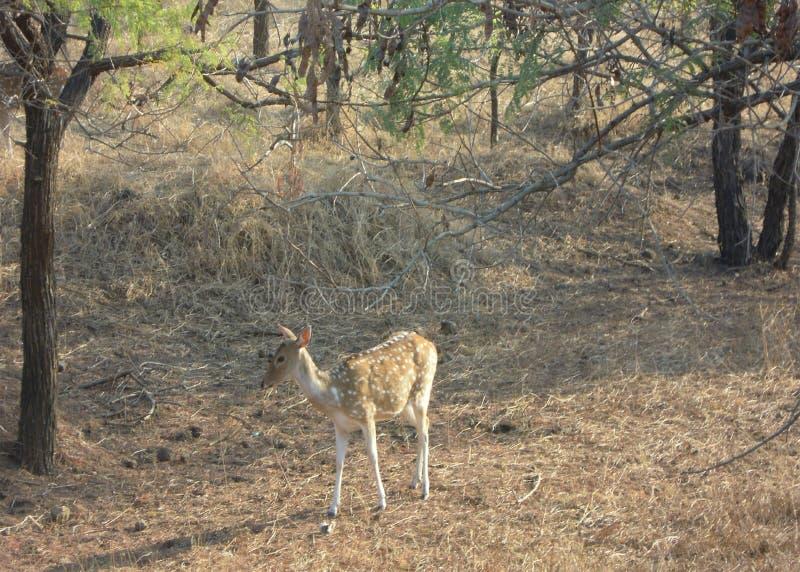 Rogacze przy gira lasem Gujarat w India obraz royalty free