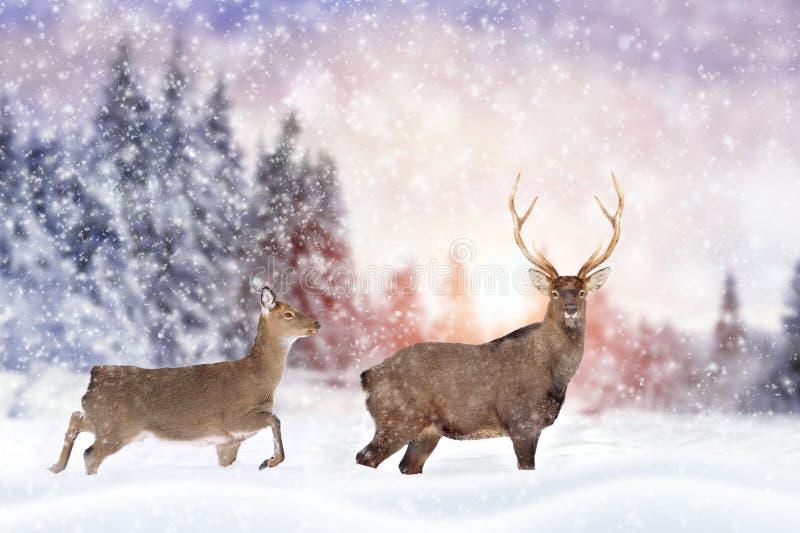 Rogacze w zima lesie obrazy royalty free