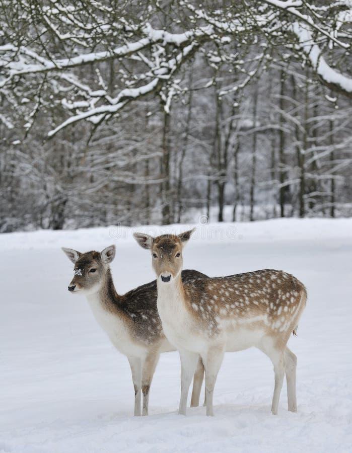 rogaczy pola śnieg zdjęcia stock