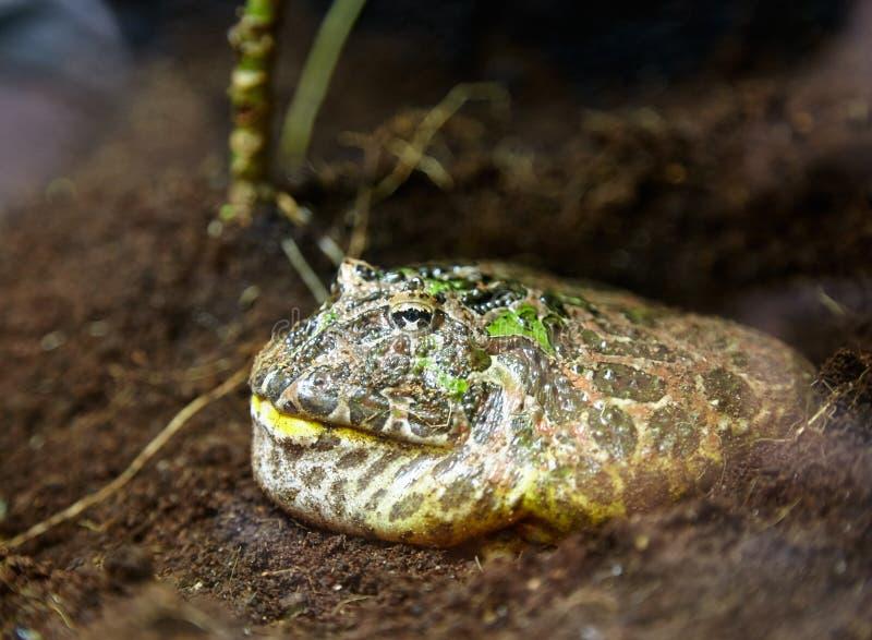 Rogata żaba obraz stock
