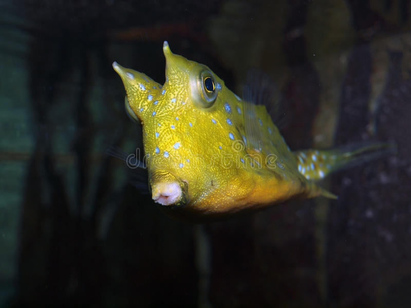 Rogaty boxfish obrazy royalty free